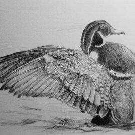 Duck Drawing Upper North Shore of Sydney