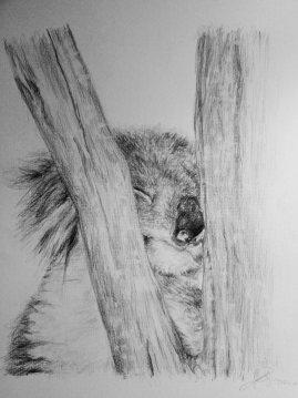 Koala Drawing Upper North Shore of Sydney