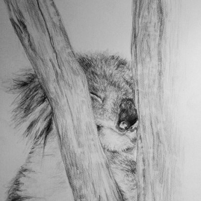 Koala Drawing Upper North Shore of Sydney