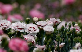 Mt Tomah's flowers