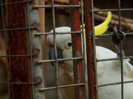 Grafton cockatoo