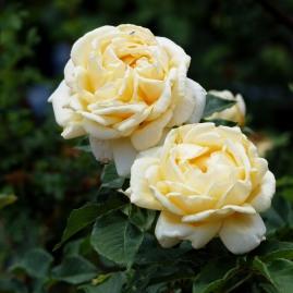Mt Tomah roses