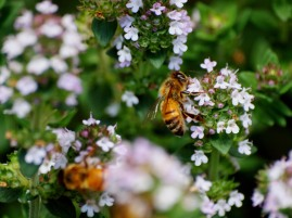 Mt Tomah's bees