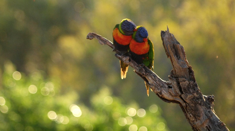 Lovebird rainbow lorikeets