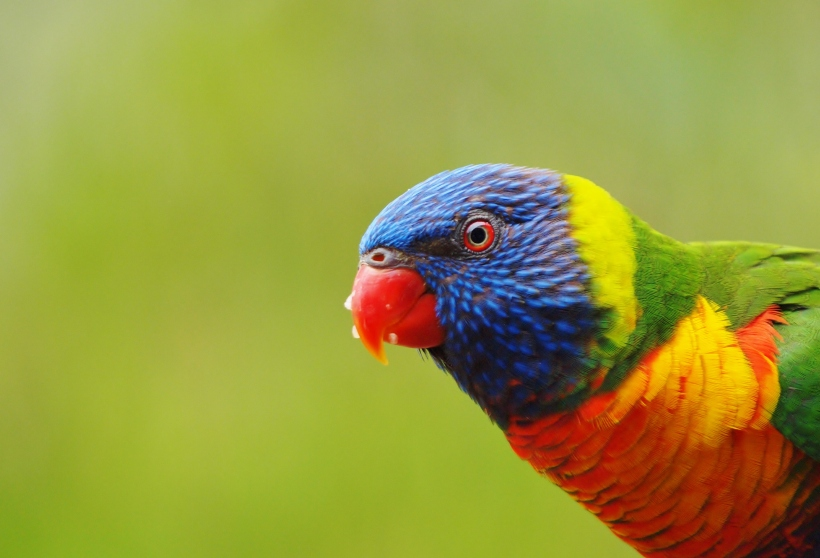 Rainbow Lorikeet up close