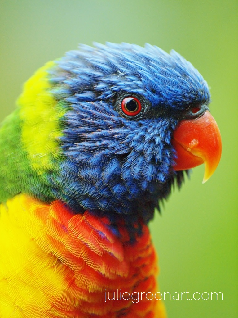 Lorikeet up close