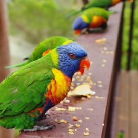 The Lorikeet Family