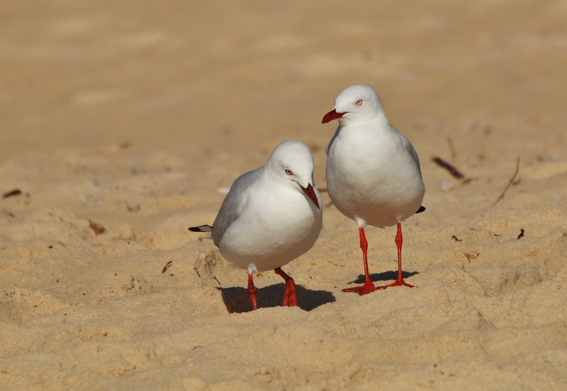 Seagulls at Woorim Beach, Queensland