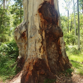 Tree Photography Blue Gum Forest Blue MOuntains