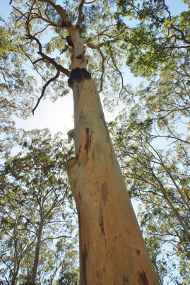 Acacia Flat Blue Gum Forest HIke
