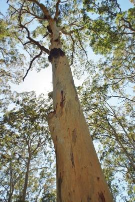 Acacia Flat Blue Gum Forest HIke