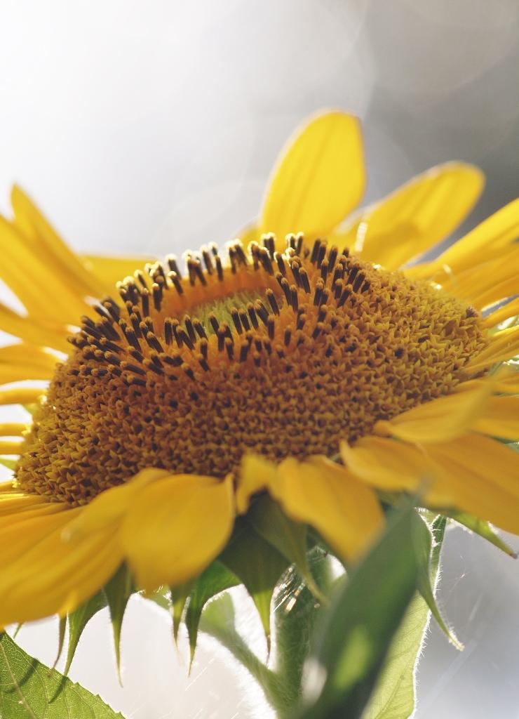 Nature photography Sunflower