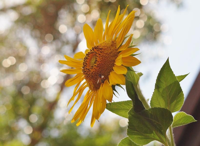 Sunflower Photography Sydney Australia