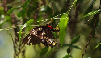 Mt Warning butterfly photography