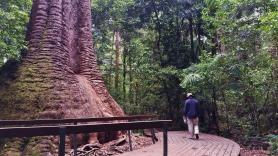 Port Macquarie Nature Photography old bottlebutt