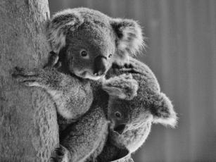 Port Macquarie Nature Photography Koala
