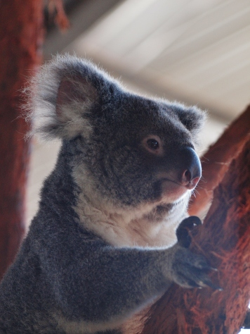 Port Macquarie Nature Photography Koala