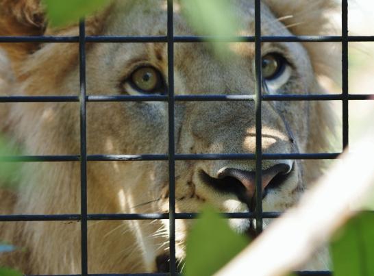 Port Macquarie Nature Photography lion