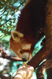 Port Macquarie Nature Photography red panda