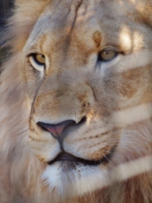 Port Macquarie Nature Photography lion