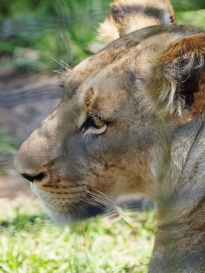 Port Macquarie Nature Photography lioness