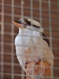 Port Macquarie Nature Photography kookaburra