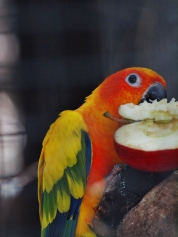 Port Macquarie Nature Photography sun conure