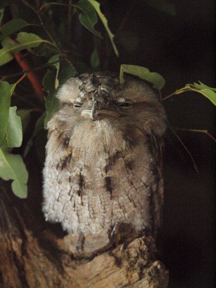 Port Macquarie Nature Photography tawny frogmouth