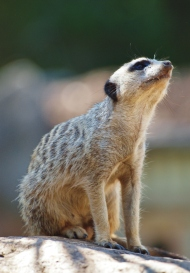 Port Macquarie Nature Photography meerkat