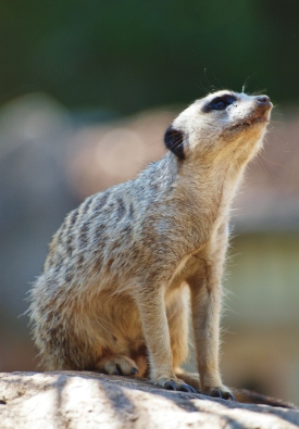 Port Macquarie Nature Photography meerkat