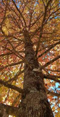 Autumn Mt Wilson 2019 (4)