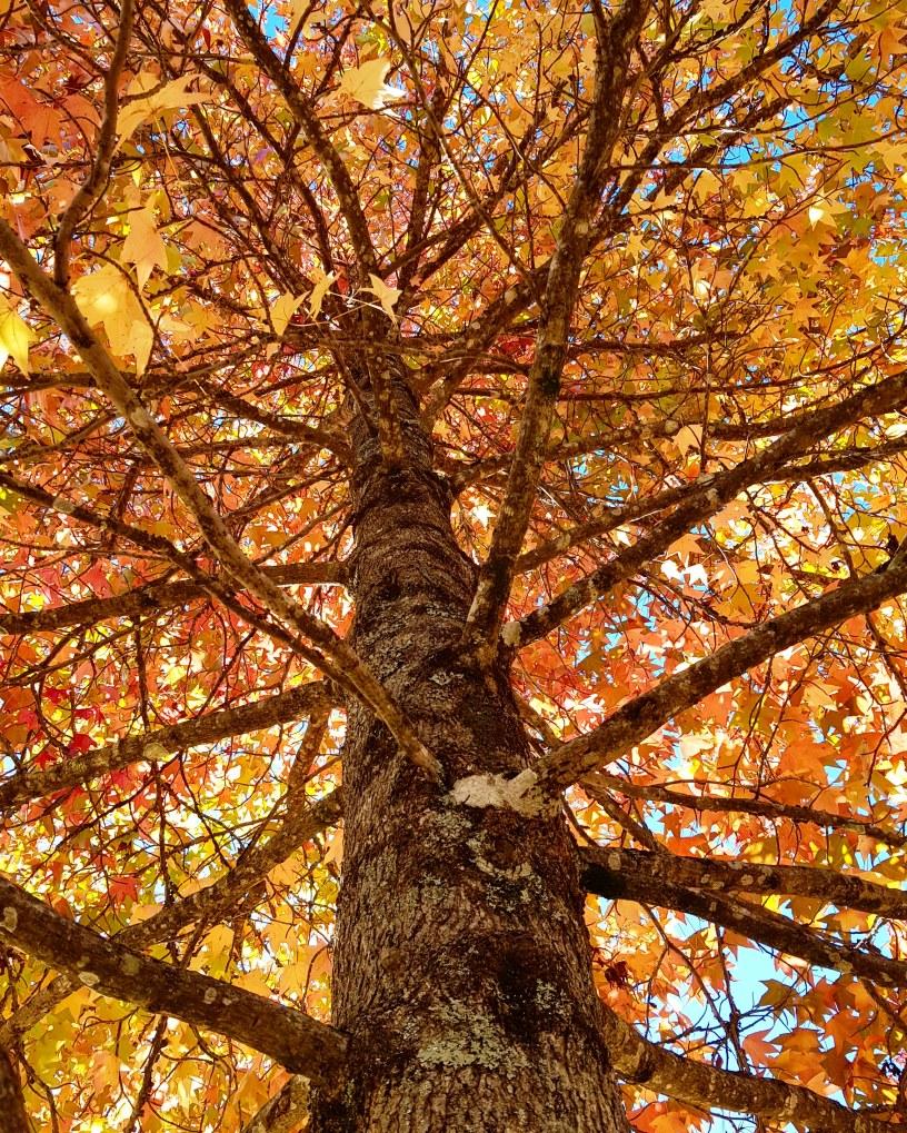 Autumn Mt Wilson 2019 (8)